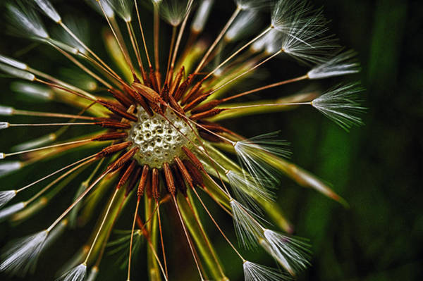 Photograph - Dandelion Puff by Dick Pratt