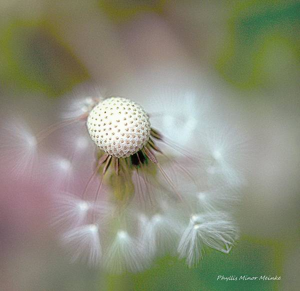Photograph - Dandelion Puff Signed by Phyllis Meinke