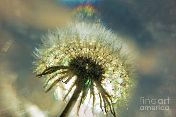 Photograph - Dandelion Seed Head-4191 by Steve Somerville