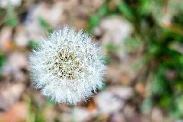 Photograph - Dandelion Seed Head by SR Green