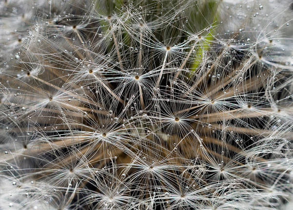 Wall Art - Photograph - Dandelion Seeds Abstract by Steve Gadomski