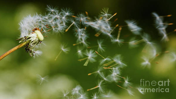 Photograph - Dandelion Seeds Fly Away by Nick  Biemans