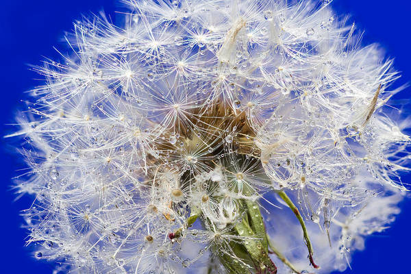 Wall Art - Photograph - Dandelion Seeds On Blue by Steve Gadomski