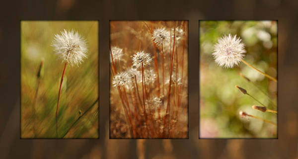 Photograph - Dandelion Series by Jill Reger