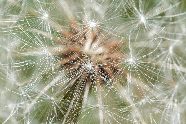 Photograph - Dandelion Sparkles by Terry DeLuco