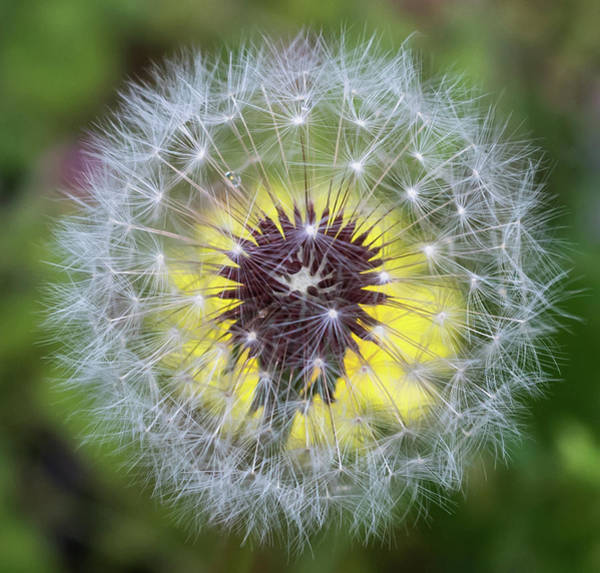 Photograph - Dandelion Square  by Terry DeLuco