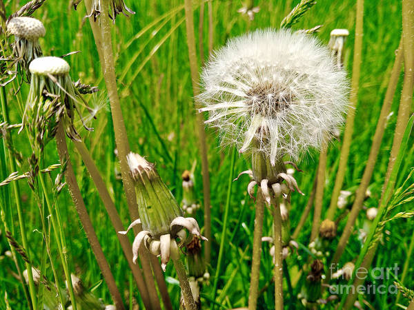 Photograph - Dandelion Stages by Robert Knight