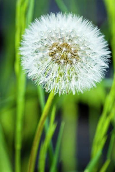 Photograph - Dandelion Stem In Green Grass by Teri Virbickis