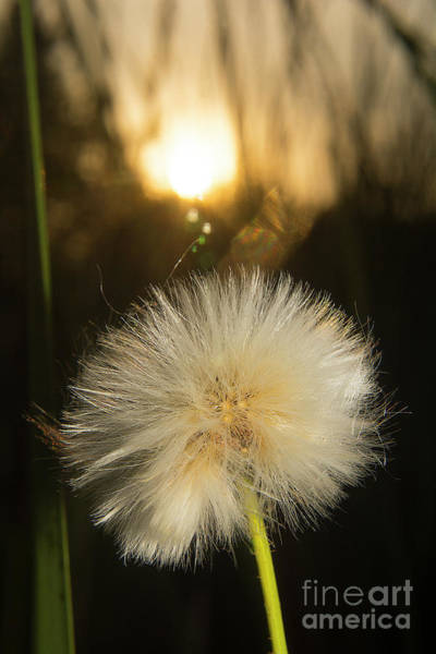 Photograph - Dandelion Sunset-1808 by Steve Somerville