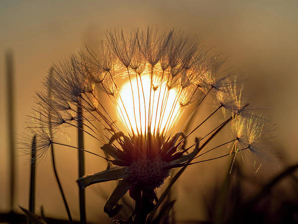 Photograph - Dandelion Sunset by Brad Boland