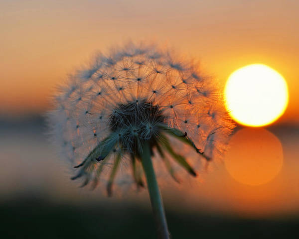 Photograph - Dandelion Sunset Collins Cove by Toby McGuire