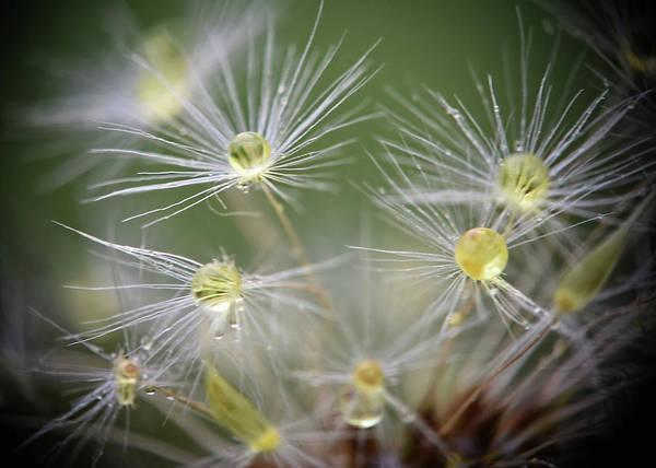 Photograph - Dandelion Water Drop Macro 10 by Christina VanGinkel