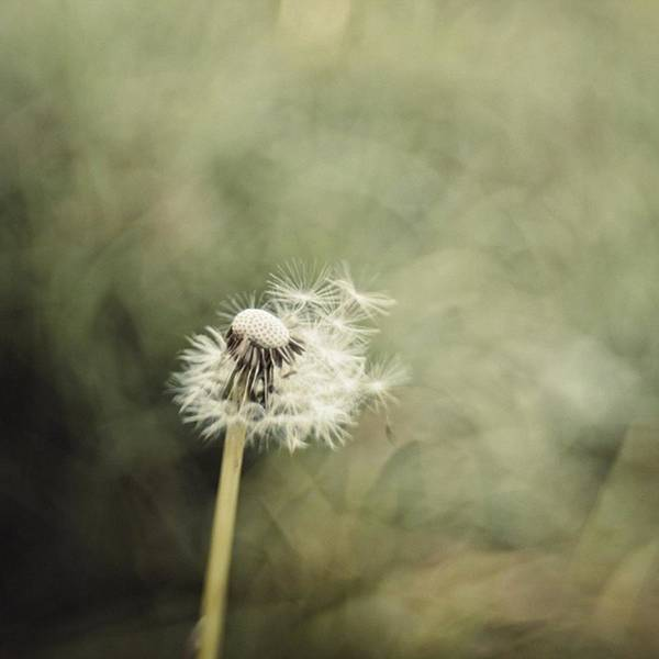 Green Photograph - Dandelion  #lensbaby #composerpro by Mandy Tabatt
