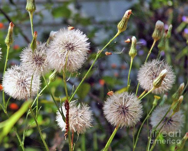 Wall Art - Photograph - Dandelions And Spider Web by Doris Blessington