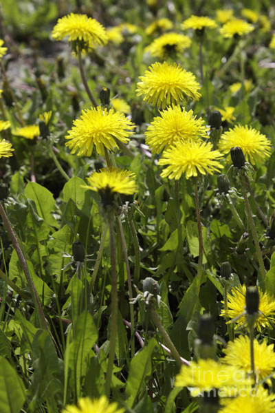 Photograph - Dandelions Floral by Donna L Munro