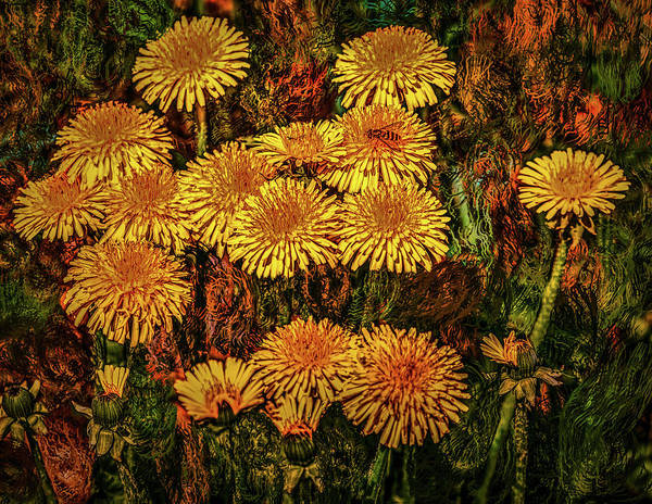 Photograph -  Dandelions #h5 by Leif Sohlman