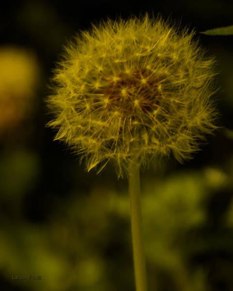 Photograph - Dandolion Golden Glo by Lesa Fine