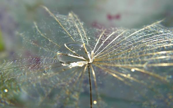 Photograph - Dandy Seed Pod by Barbara St Jean