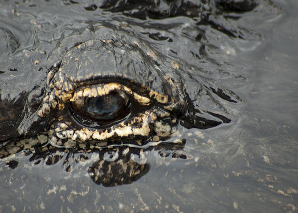Gator Photograph - Dangerous Stalker by Carolyn Marshall