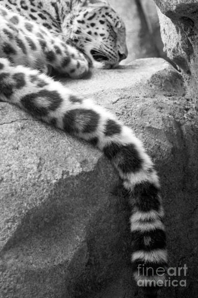 Dangling And Dozing In Black And White Art Print