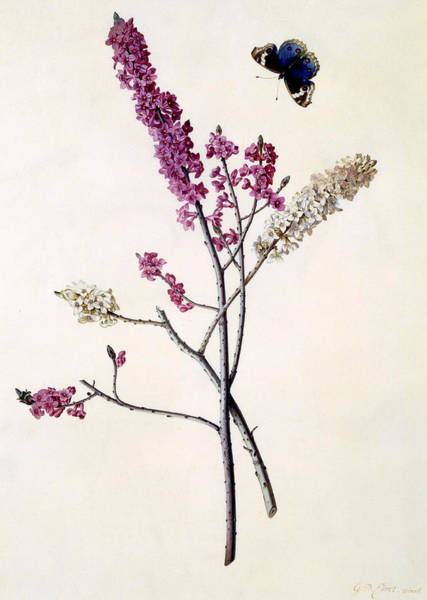 Wall Art - Painting - Daphne Mezereum With Butterfly by Georg Dionysius Ehret
