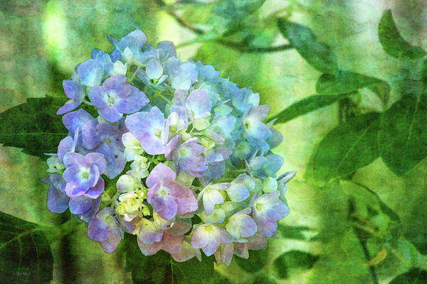 Photograph - Dappled Light Hydrangea 2300 Idp_2 by Steven Ward