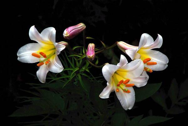 Photograph - Dark Day Bright Lilies by Byron Varvarigos