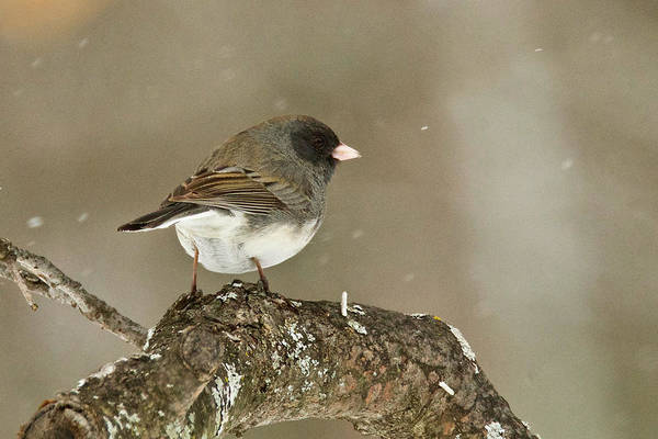 Wall Art - Photograph - Dark-eyed Junco 3081 by Michael Peychich