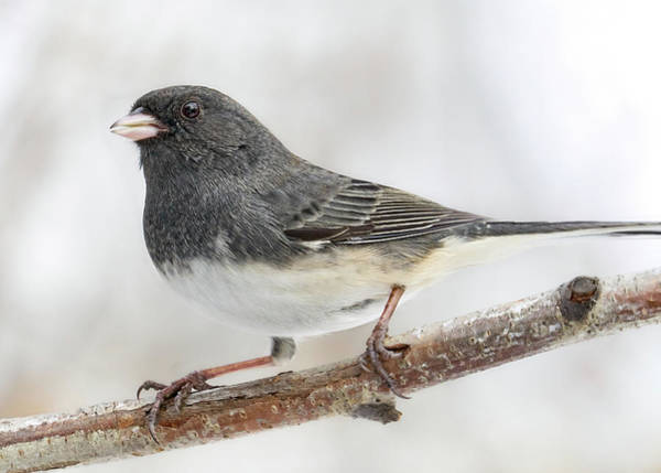 Photograph - Dark-eyed Junco In Minnesota by Jim Hughes