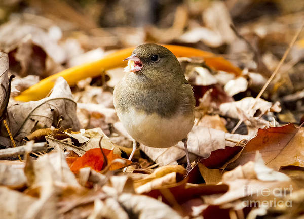Photograph - Dark-eyed Junco In The Fall by Ricky L Jones