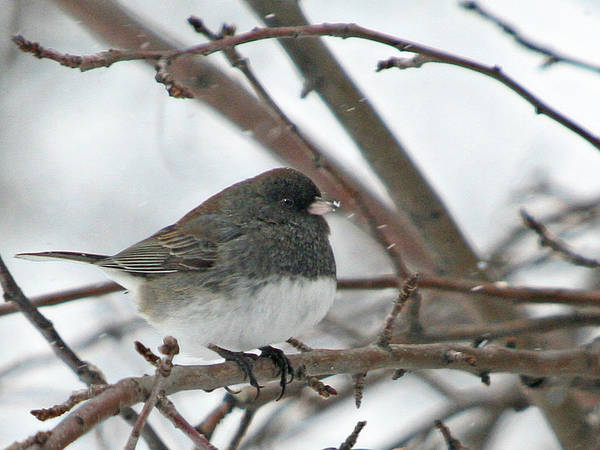 Wall Art - Photograph - Dark Eyed Junco In The Snow by Laurie With