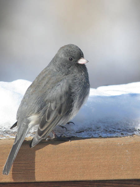 Wall Art - Photograph - Dark Eyed Junco On The Railing by Laurie With
