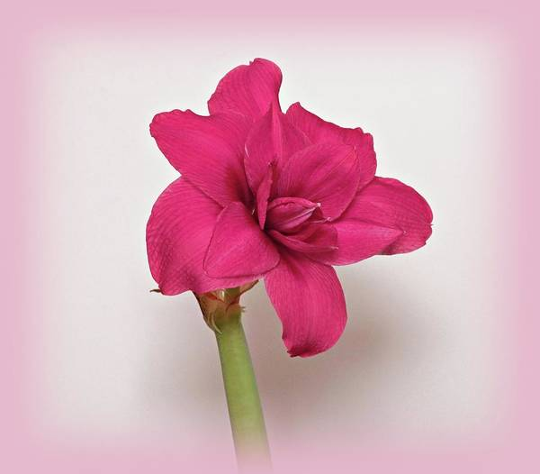 Photograph - Dark Pink Amaryllis by Sandy Keeton