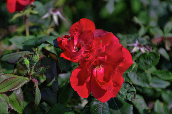 Photograph - Red Flower by Tim McCullough