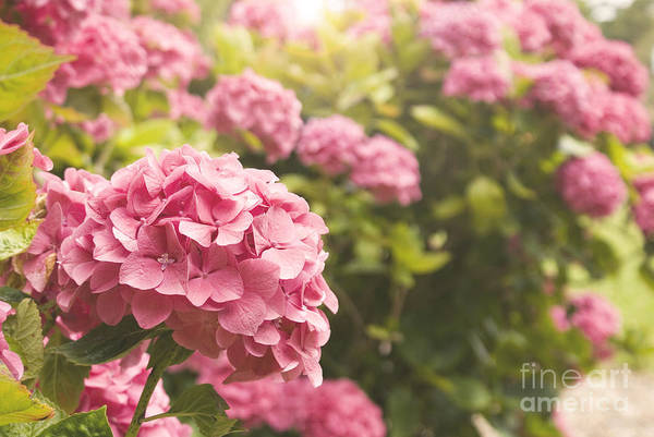 Photograph - Dark Pink Hydrangea by Cindy Garber Iverson