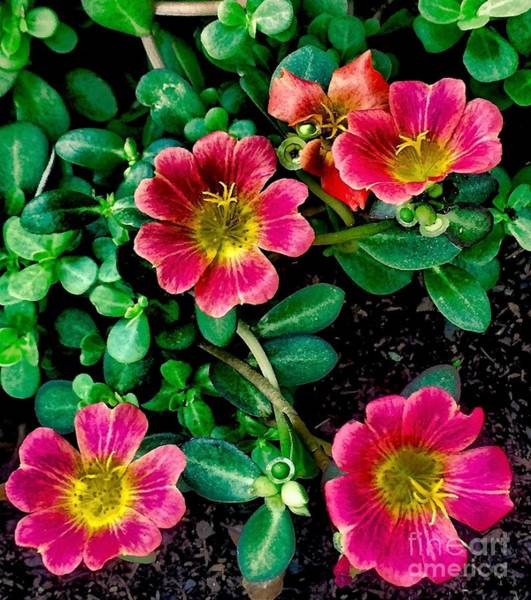 Dark Pink Purselane Flowers Art Print
