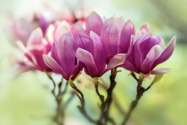 Wall Art - Photograph - Dark Pink Soulange Magnolia by Jaroslaw Blaminsky