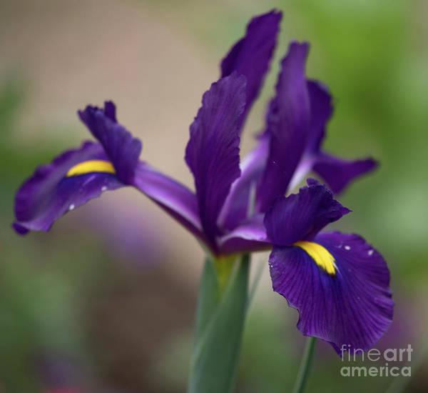 Photograph - Dark Purple Iris by Teresa Wilson