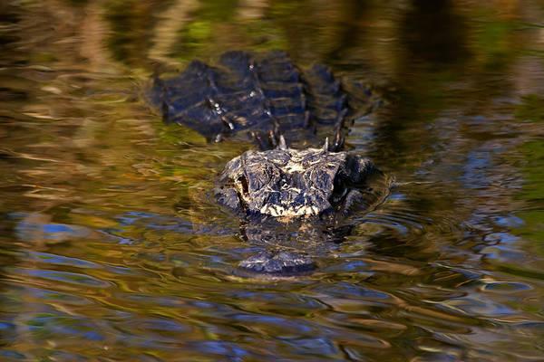 Gator Photograph - Dark Water Predator by Mike  Dawson