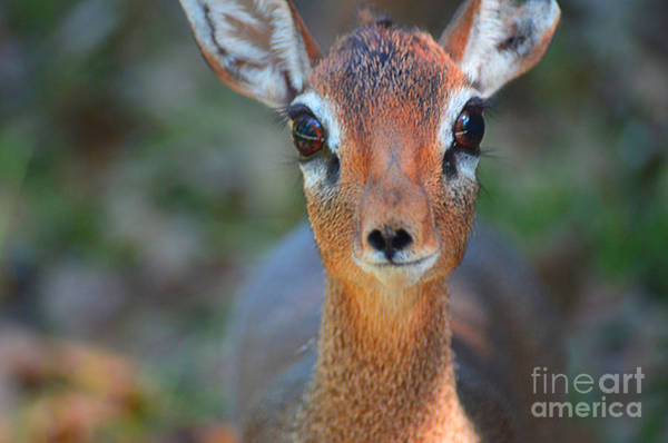Photograph - Darling Doe by Spade Photo