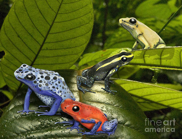 Painting - Dart-poison Frogs - Poison-dart Frogs Dendrobatidae - Baumsteiger Frosch - Pijlgifkikkers by Urft Valley Art