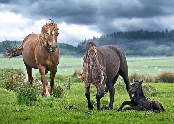 Mare And Foal Photograph - Dartmoor Ponies by Gill Billington