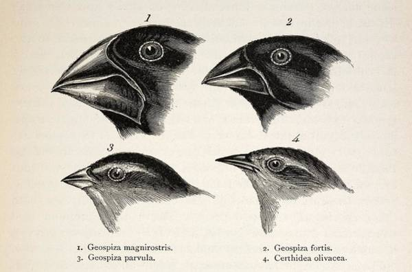 Wall Art - Photograph - Darwin's Galapagos Finches by Paul D Stewart