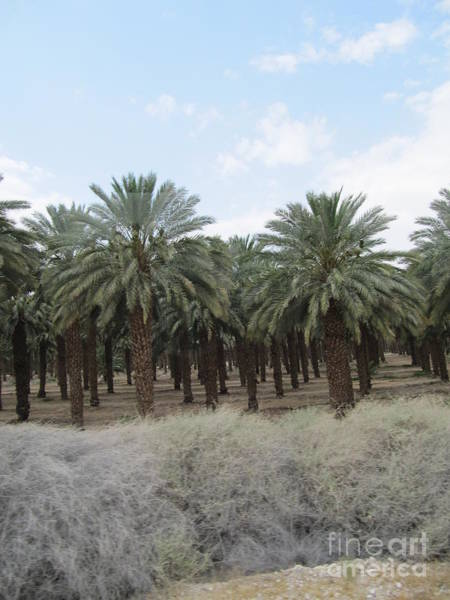 Photograph - Date Palm Jericho by Donna L Munro