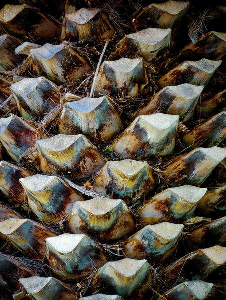 Wall Art - Photograph - Date Palm Tree Pattern by Frank Tschakert