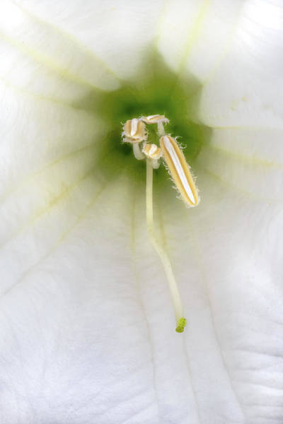 Photograph - Datura Anthers And Stigma by Alexander Kunz