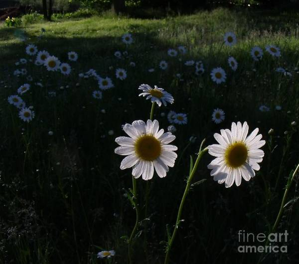 Wall Art - Photograph - Dawns Daisy Dew by The Stone Age