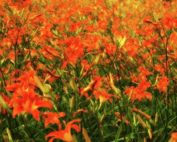 Photograph - Day Lily Field 4 by John Feiser