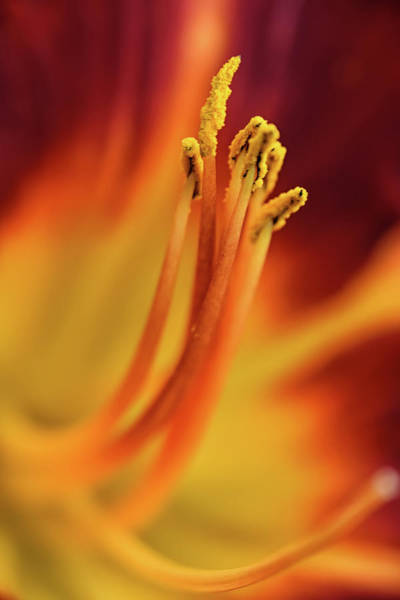 Photograph - Day Lily by Kuni Photography
