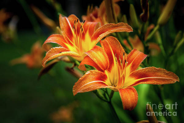 Photograph - Day Lily by Roger Monahan